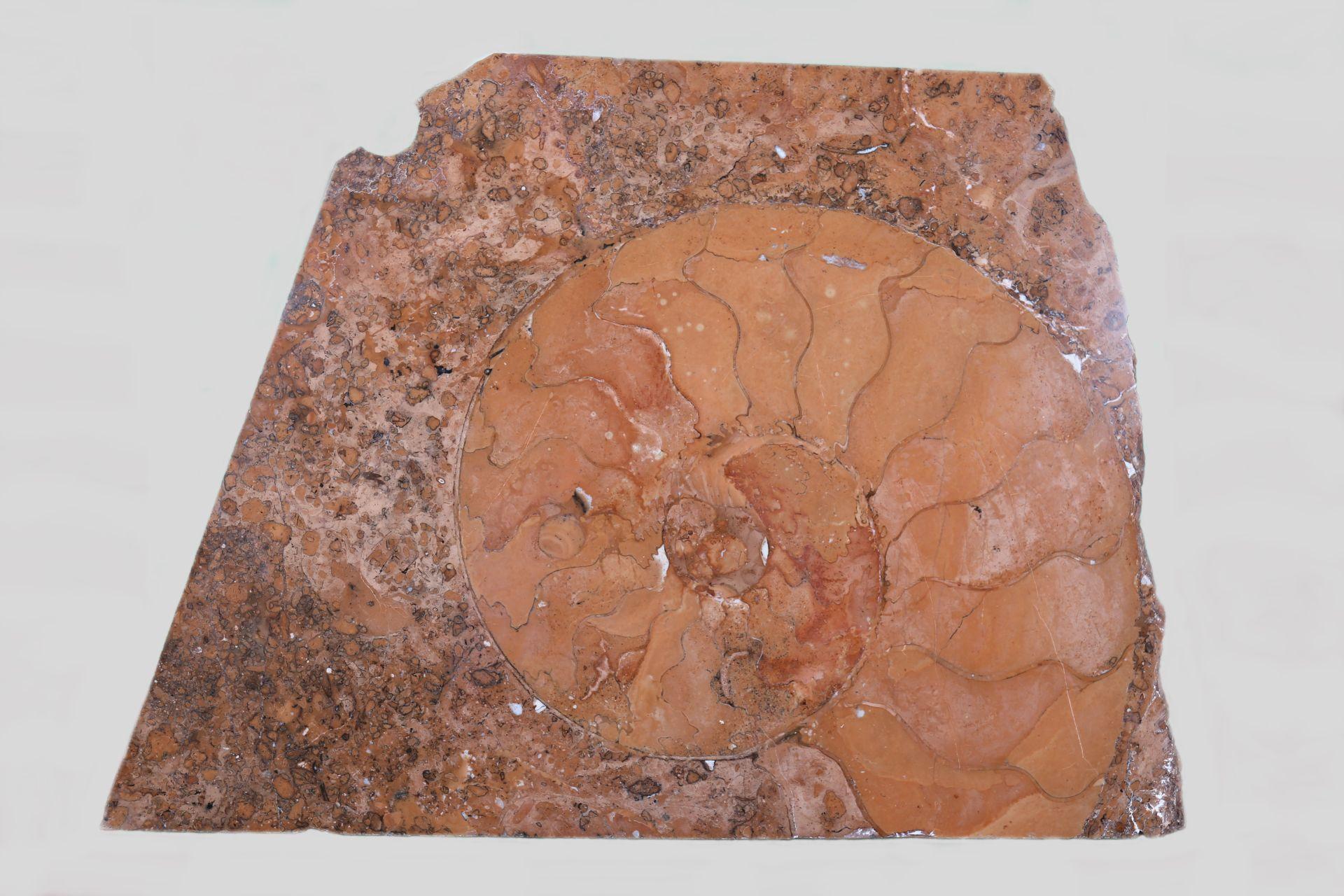 Ammonit von